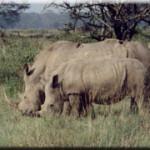 kenya-rino